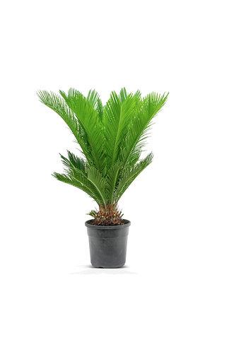 سايكوس نباتات خارجية