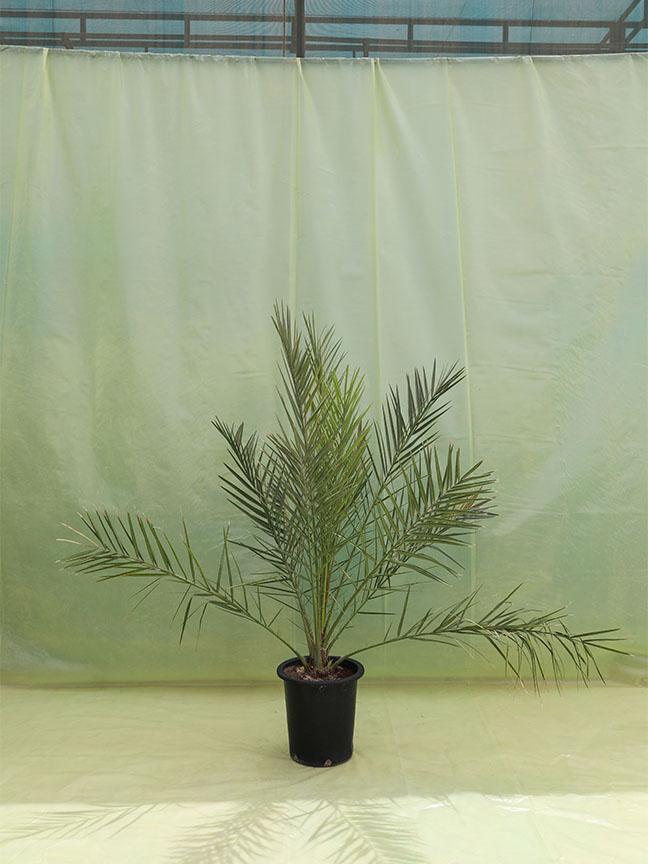 Date Palm Tissue Deglet Nour Outdoor Plants