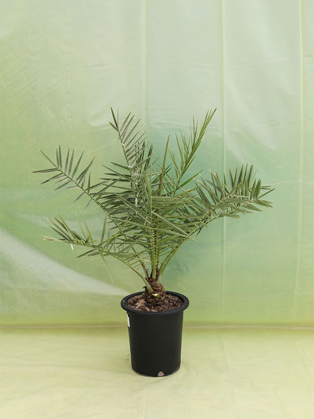 Date Palm Tissue Namshi Outdoor Plants