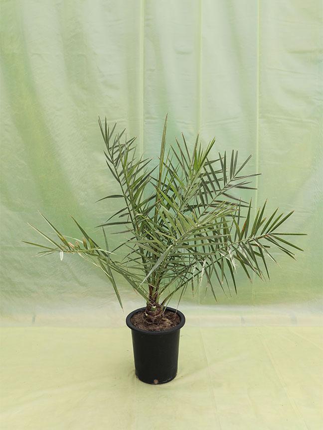 Date Palm Sagai (Tissue Culture) Outdoor Plants