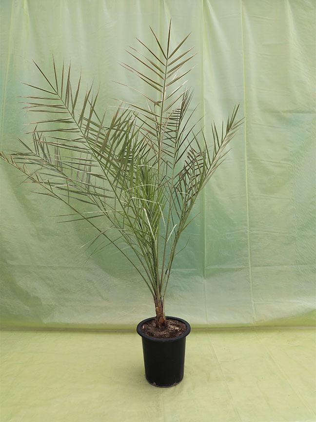 Date Palm  Nabut Saifi (Tissue Culture) Outdoor Plants