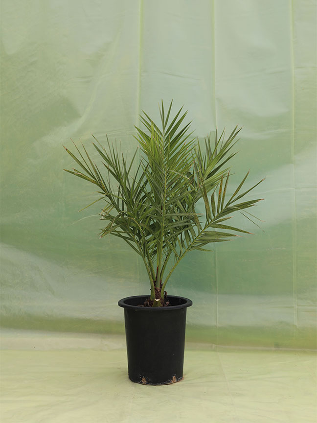 Date Palm  Medjool (Tissue Culture)  Outdoor Plants
