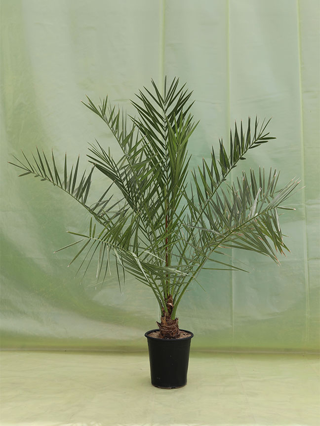 Date Palm Barhi (Tissue Culture) 'Outdoor Plants'