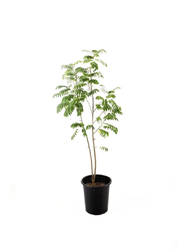 الليوسينا 'نباتات خارجية'