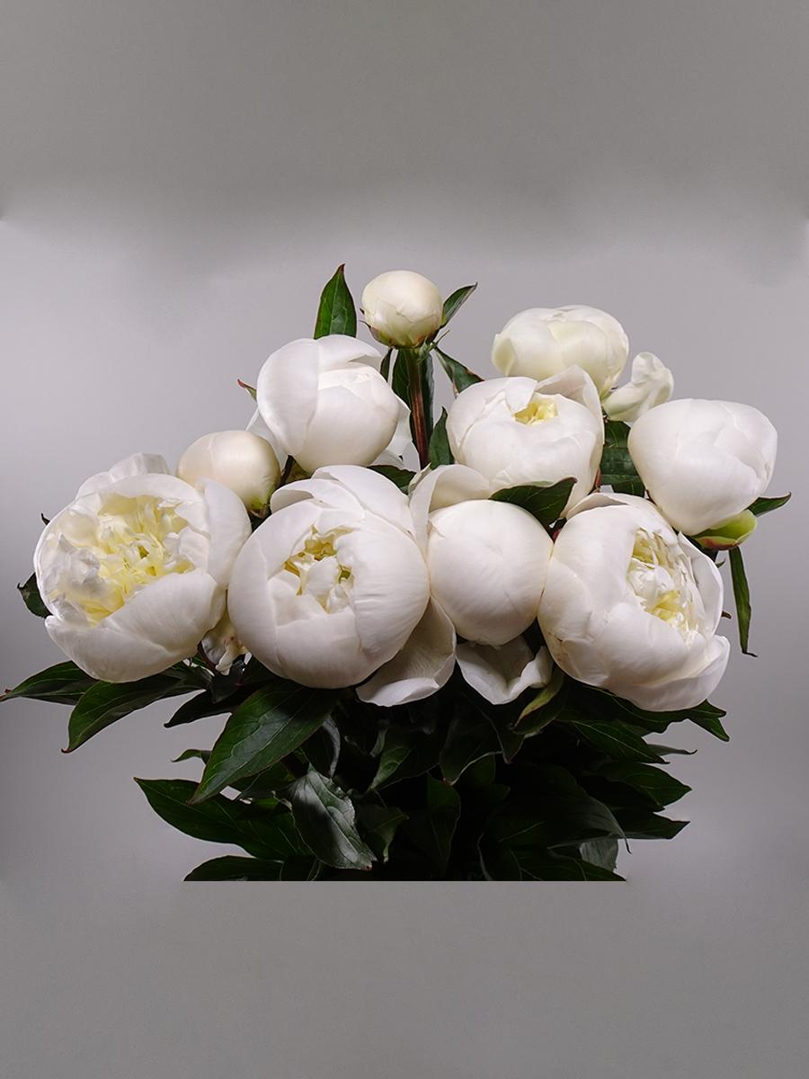 Paeony White Wholesale Flowers