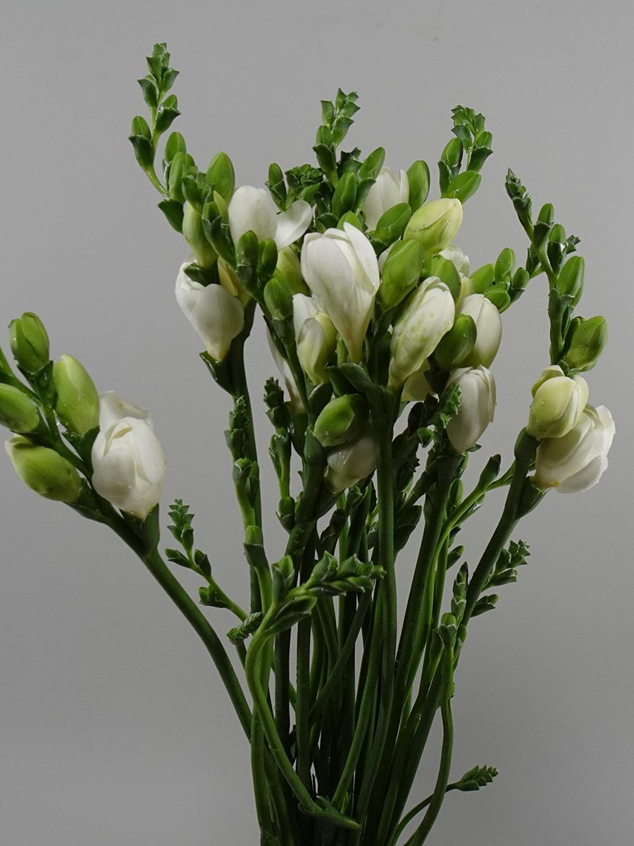 Freesia White Wholesale Flowers