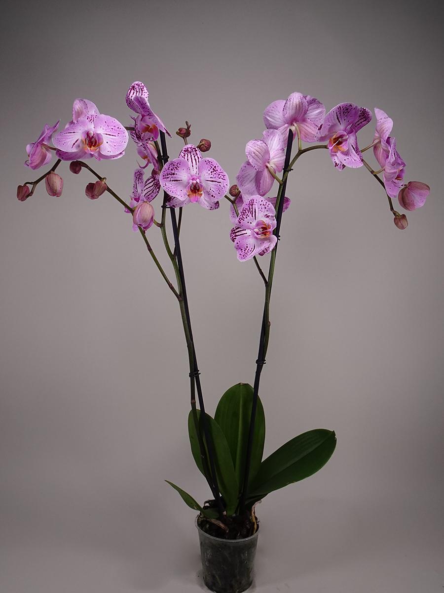 فالاينوبسيس أوركيد - وردي  الزهور بالجملة