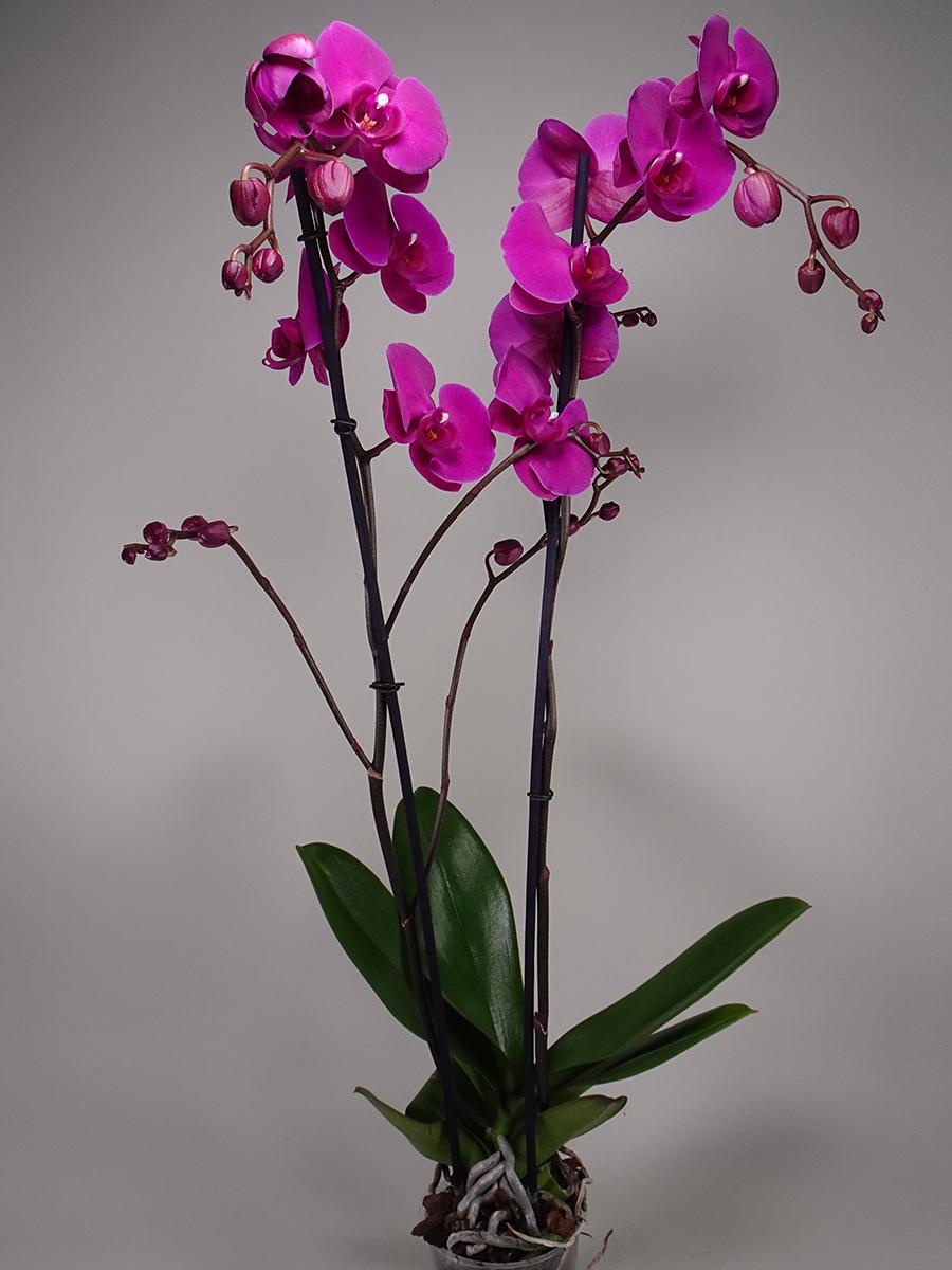 فالاينوبسيس أوركيد - بنفسجي  الزهور بالجملة