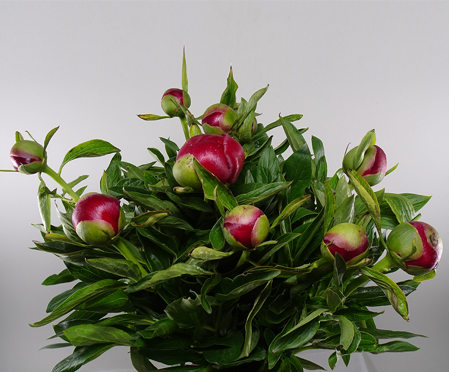 Paeony Red Wholesale Flowers