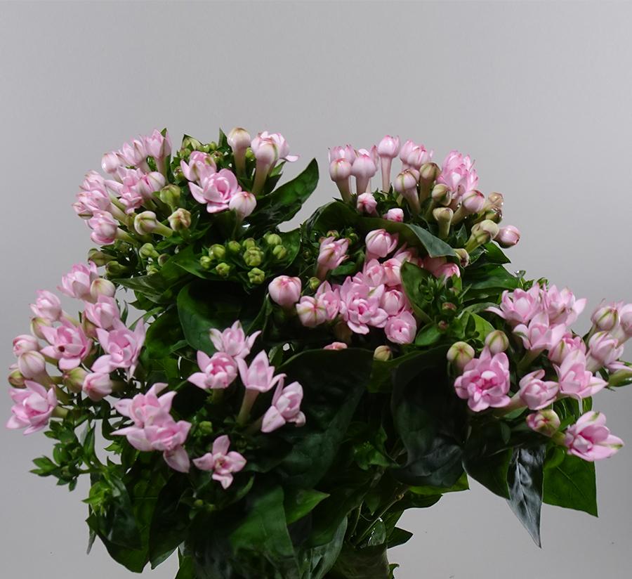 Bouvardia Lightpink    الزهور بالجملة