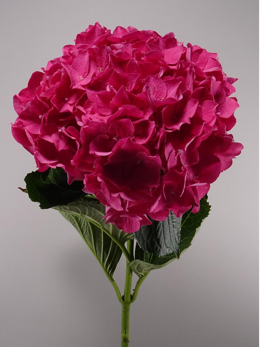 Hydrangea Fuchsia Big Head Wholesale Flowers