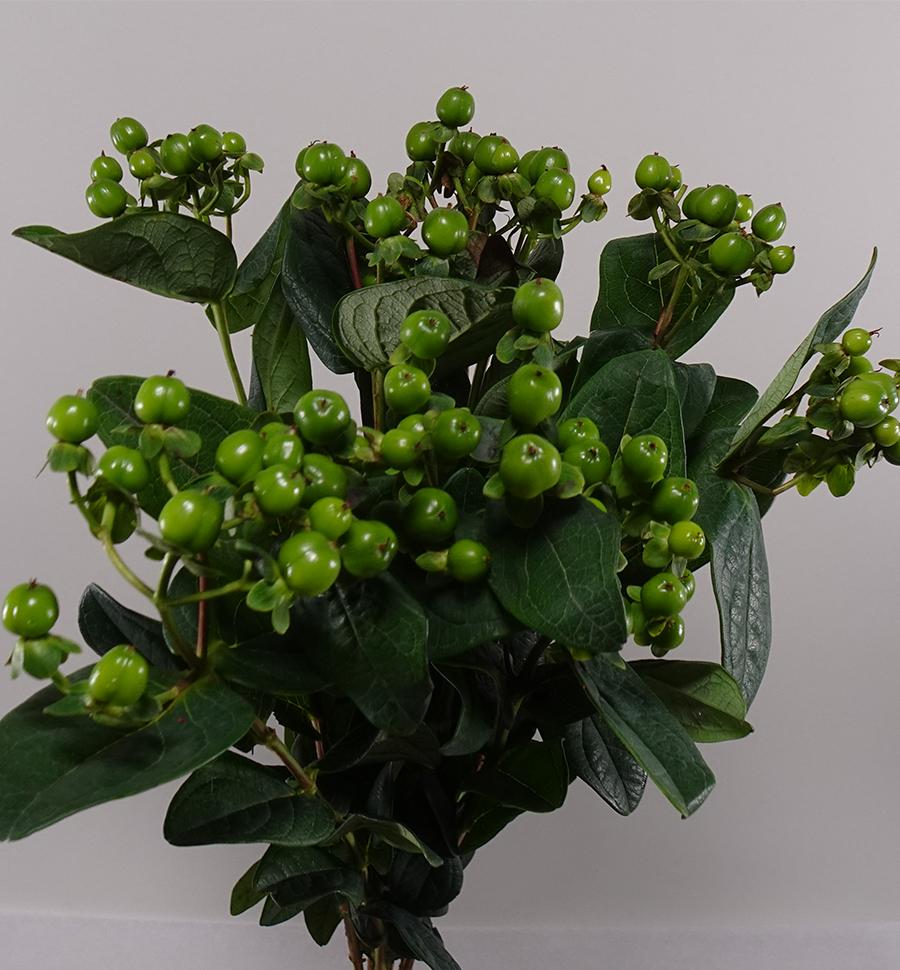 Hypericum Green 'Wholesale Flowers'