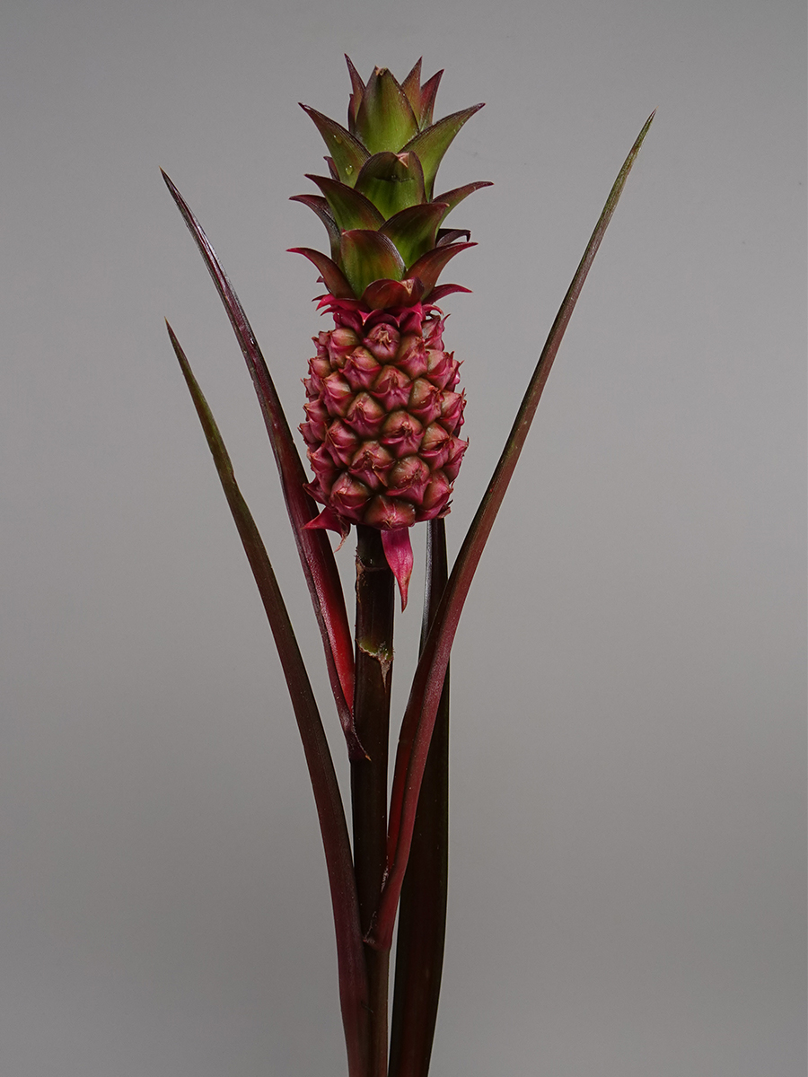 Ananas Lucidus  Holiday Season