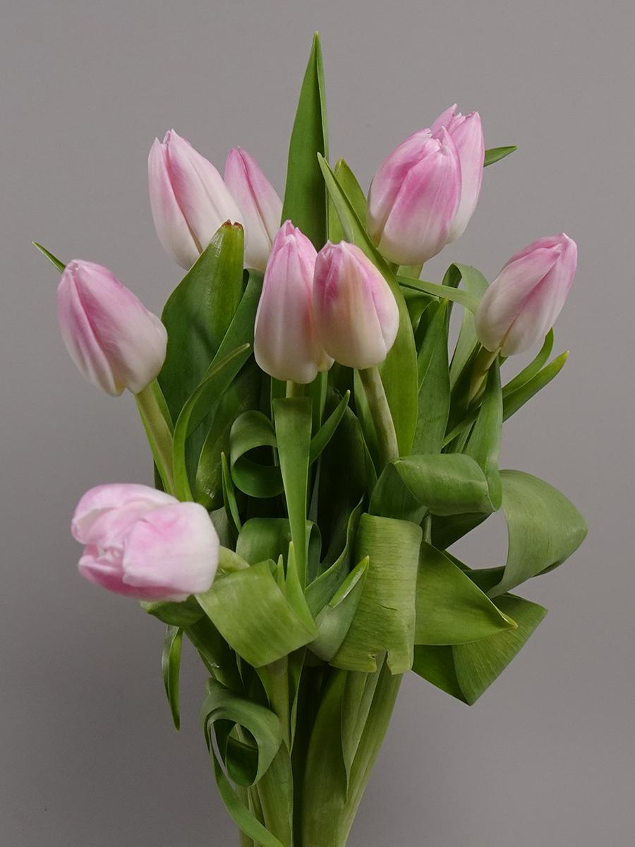 Tulip Pink Wholesale Flowers