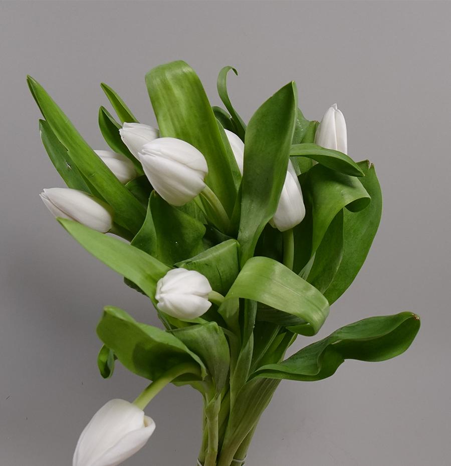 Tulip White Wholesale Flowers
