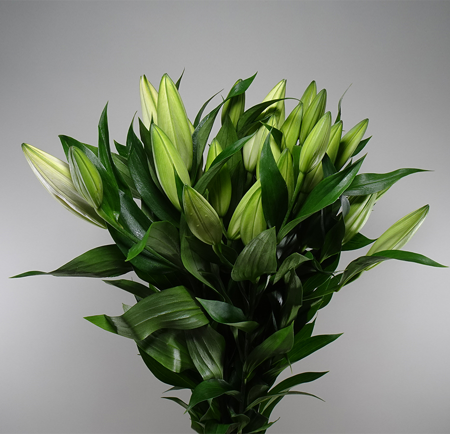 Lily Oriental White Wholesale Flowers