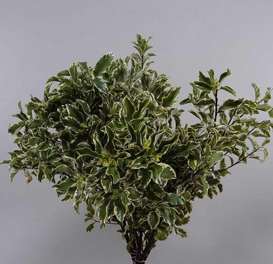 Pittosporum Per Bunch    Wholesale Flowers [Special Deals]