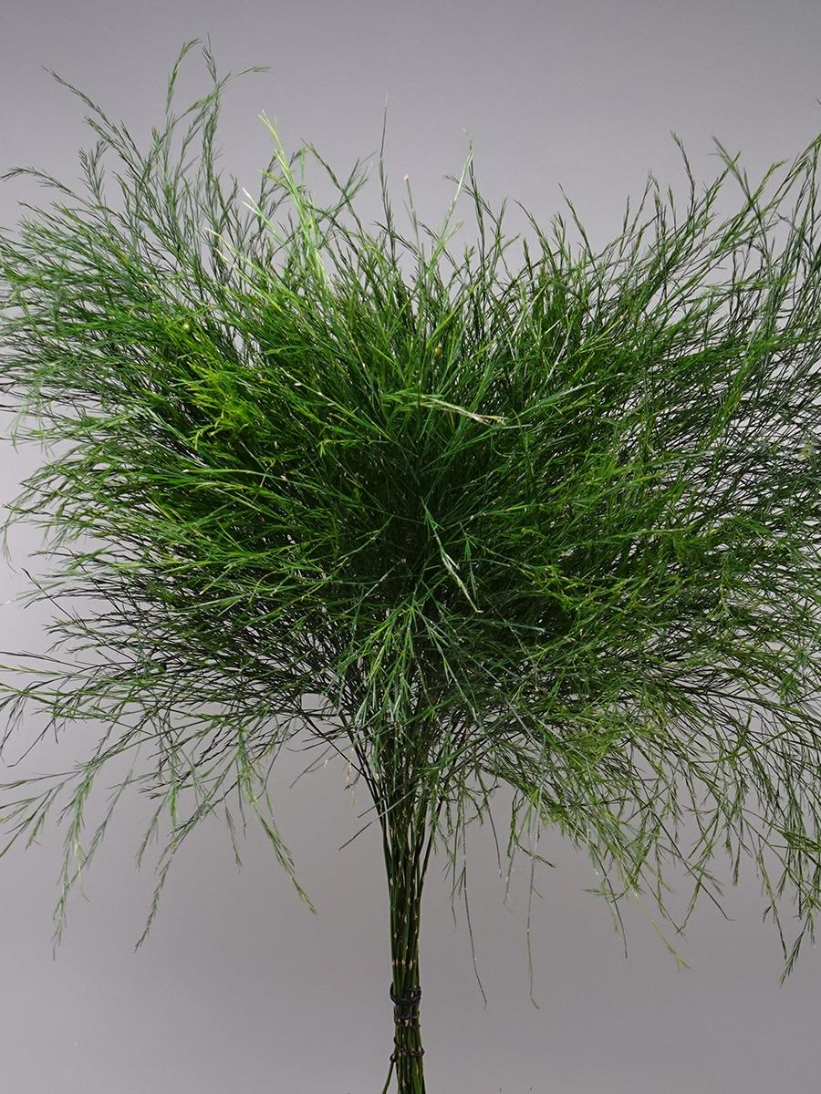 Asparagus  (Tree Fern)    Wholesale Flowers [Special Deals]