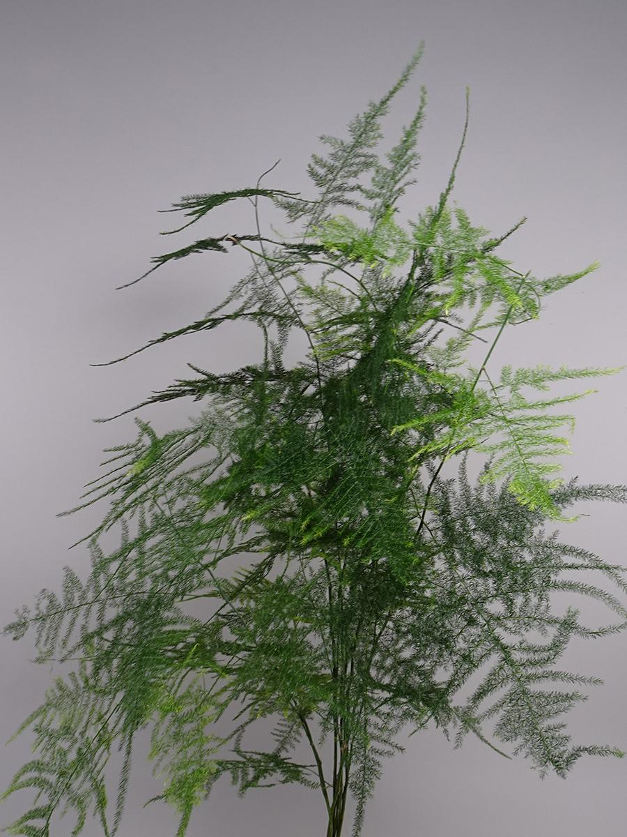 Asparagus Setaceus    الزهور بالجملة
