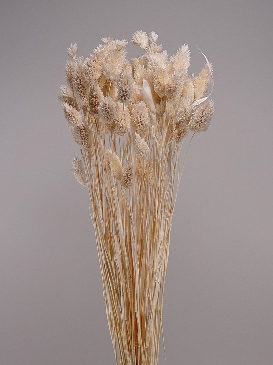 Preserved phalaris bleached  Wholesale Flowers