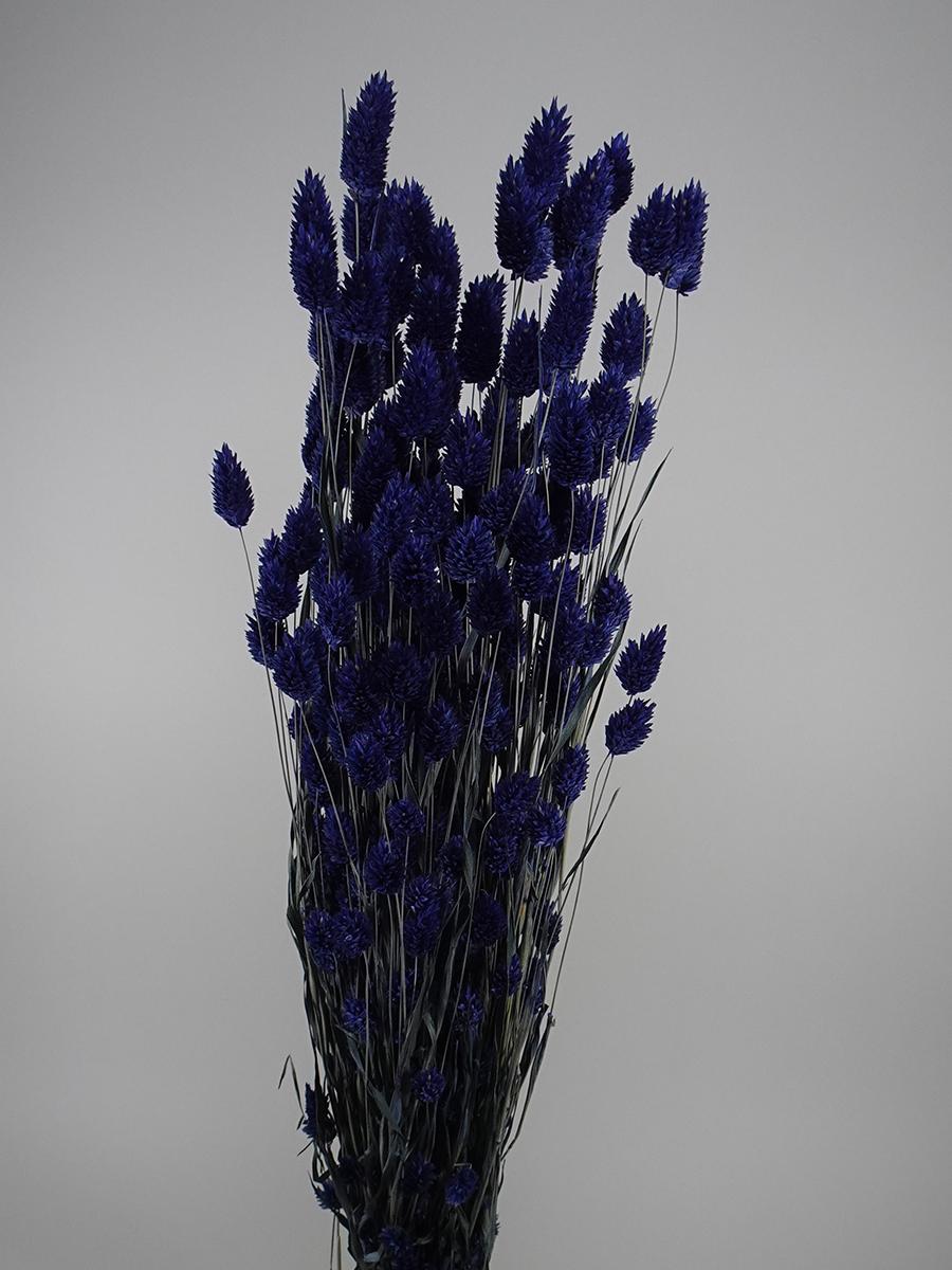 Dried Phalaris  Dark Blue   Wholesale Flowers