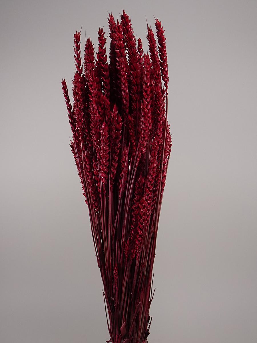 Triticum Red   'Wholesale Flowers'