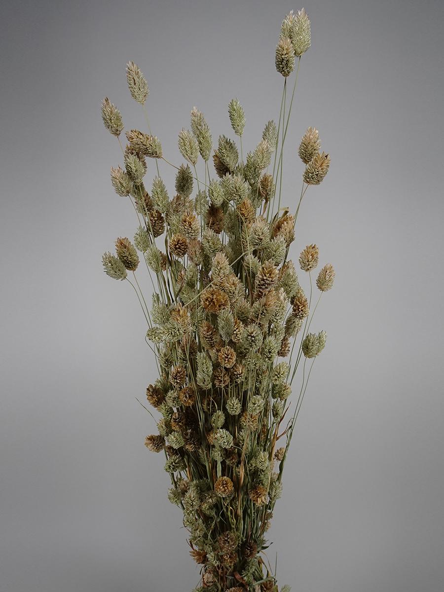 فلاريس باللون الطبيعي  الزهور بالجملة
