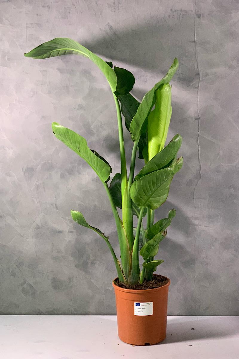 Strelitzia Plants Of Italy Office Plants