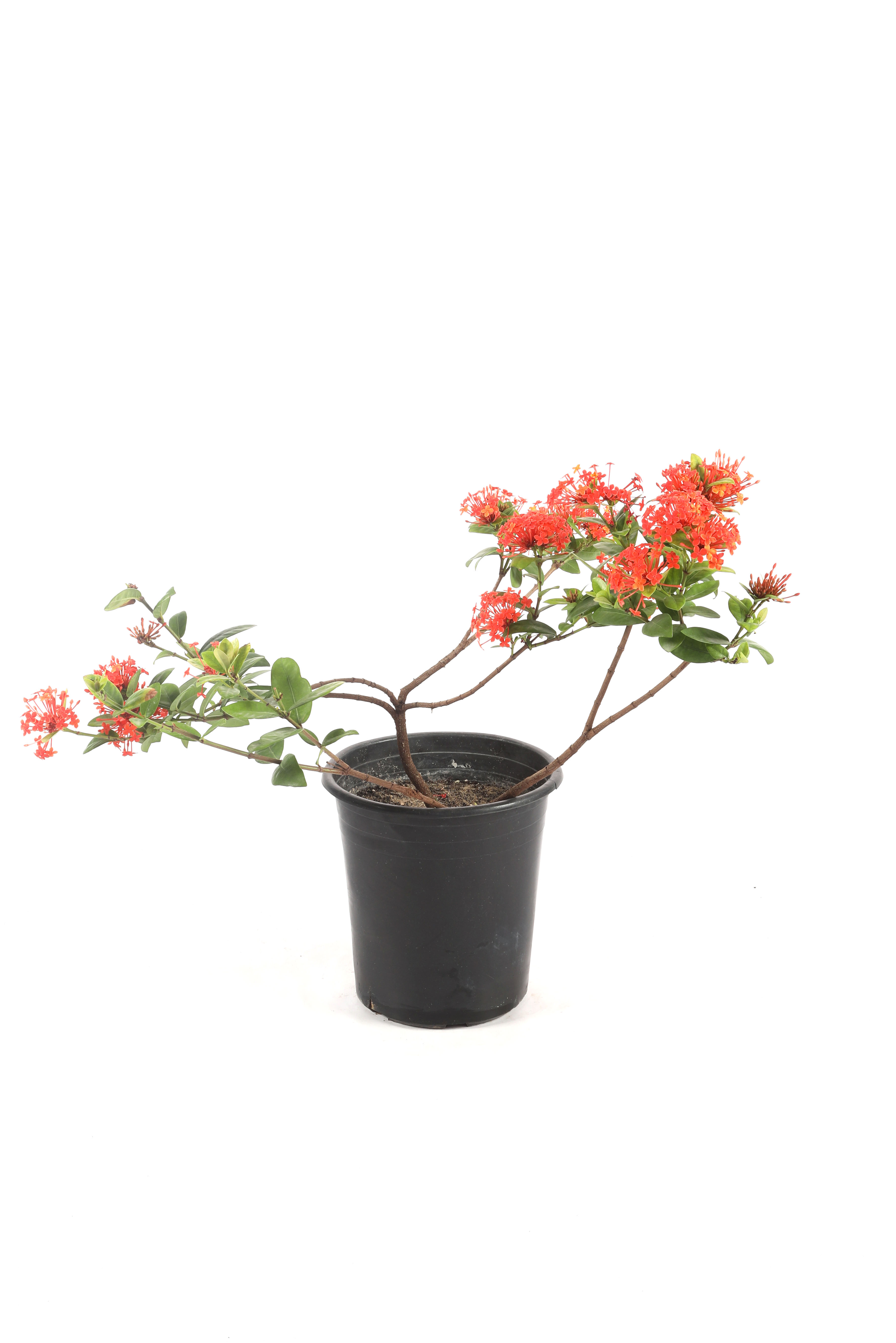 Ixora Coccinea 'Outdoor Plants'