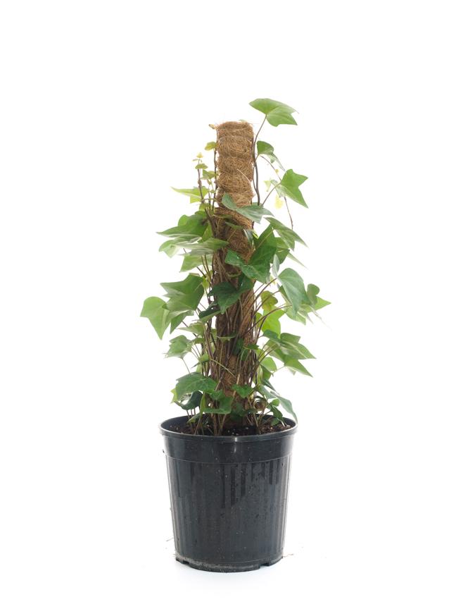 Hedera Stick 'Indoor Plants'
