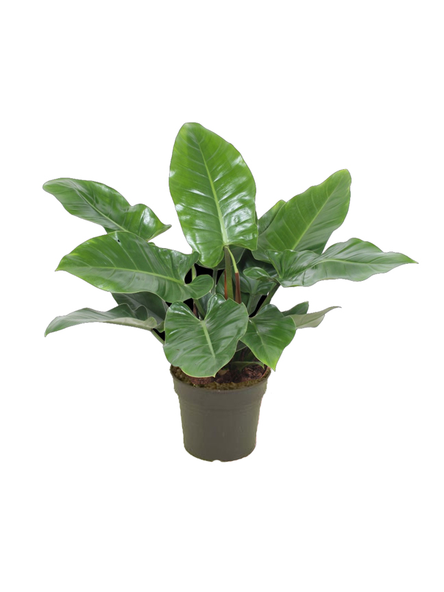 Philodendron Imperial Green Indoor Plants