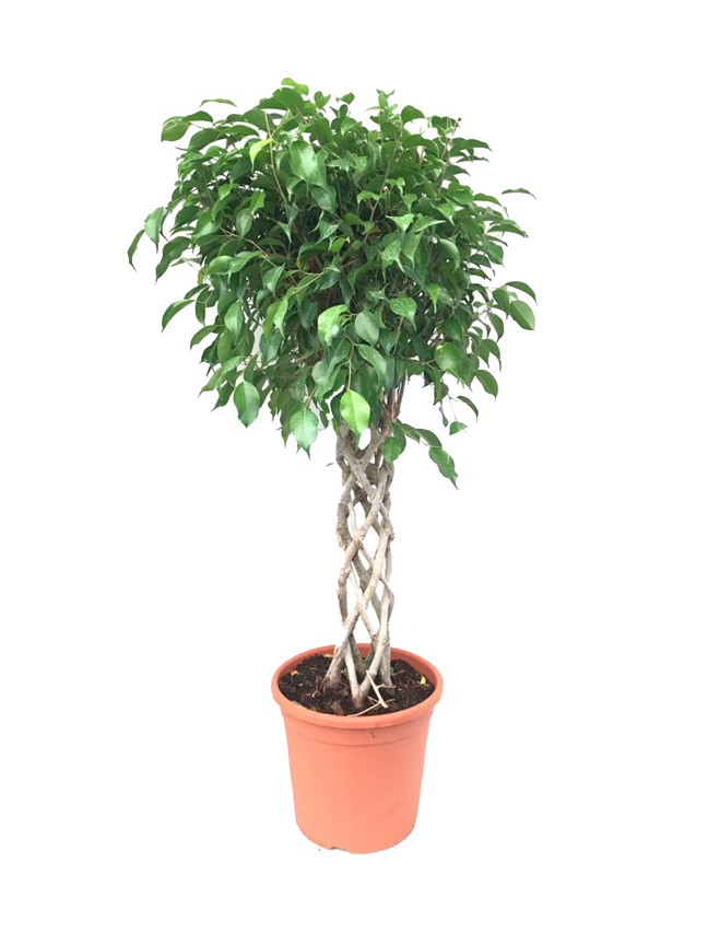 Ficus Benjamina Espaldera Indoor Plants