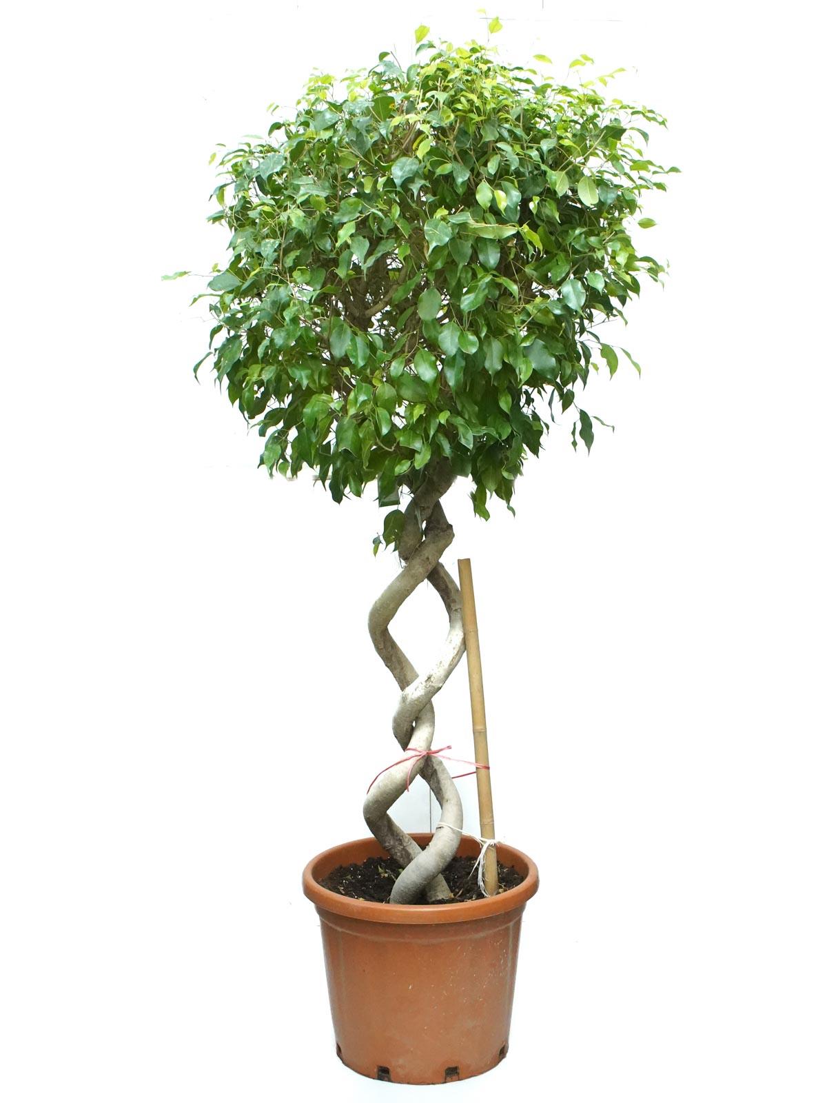 تين بنيامين اللولبي نباتات داخلية