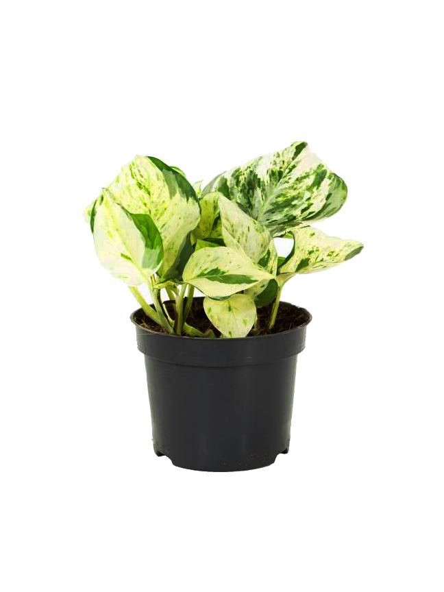 Epipremnum Pinnatum Indoor Plants