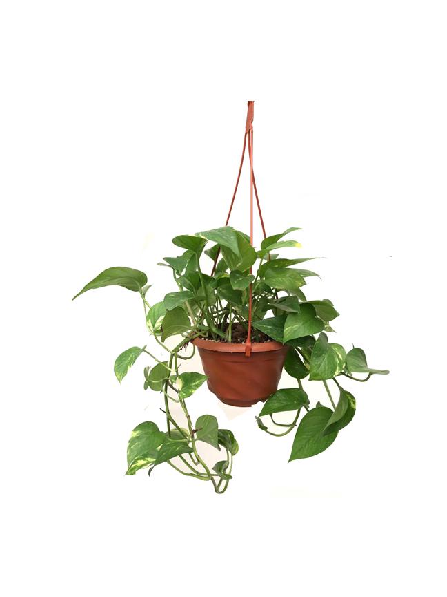 Epipremnum Hanging (Money Plant) Indoor Plants