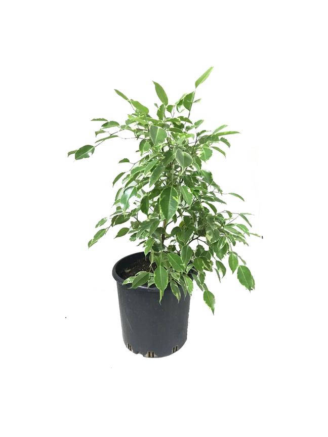 Ficus Benjamina Danilee Green Indoor Plants
