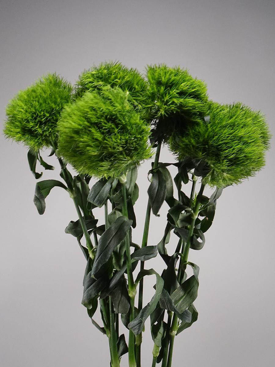 Carnation Barb Kiwi Wholesale Flowers