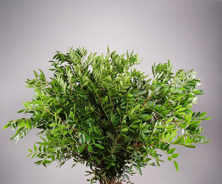 Buy 2 Get 1 Free Pistacia green Wholesale Flowers [Special Deals]