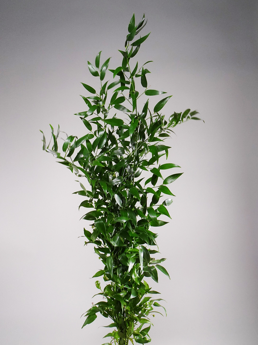 Italian ruscus Green  Wholesale Flowers [Special Deals]