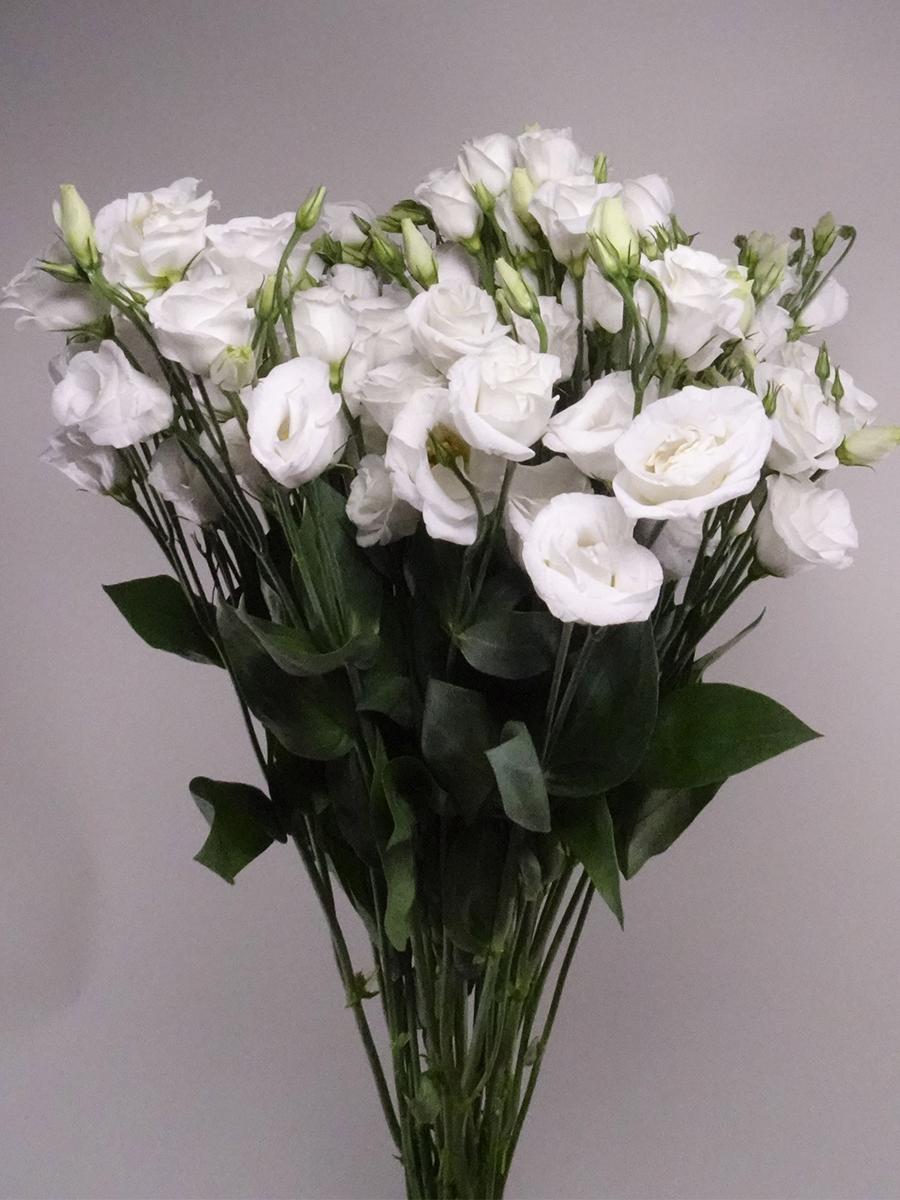 Lisianthus White Wholesale Flowers