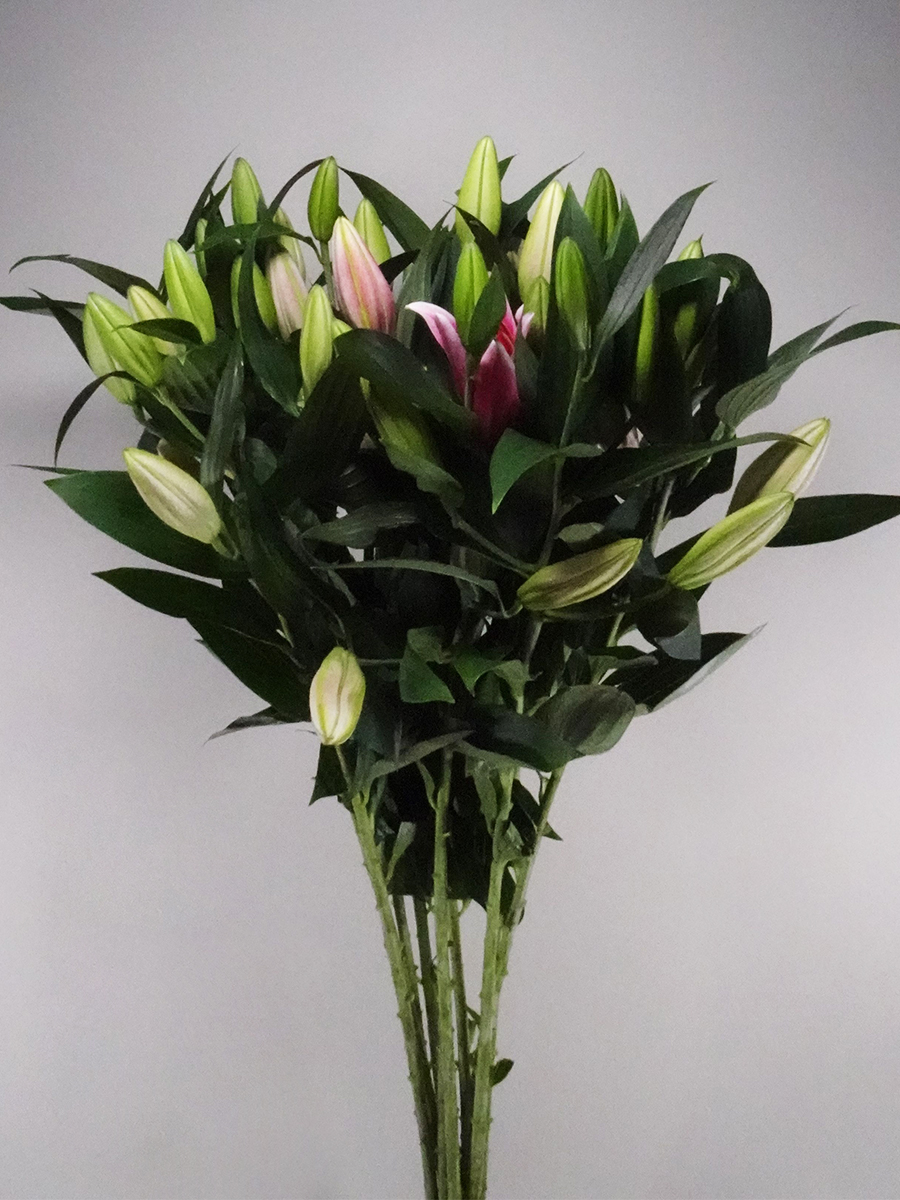 Lily Oriental Dark Pink Wholesale Flowers