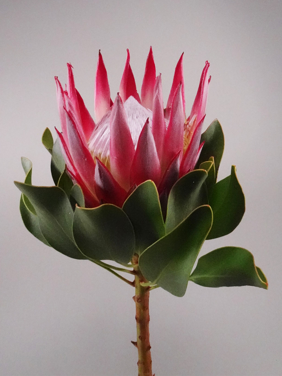 Protea King Pink   'Wholesale Flowers'