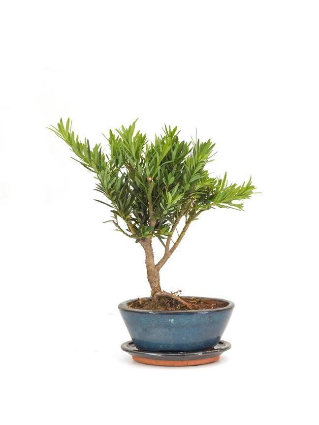 Podocarpus Chinensis Bonsai Shape 'Indoor Plants'