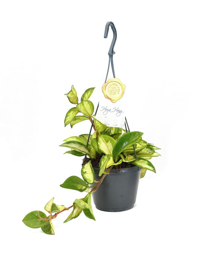 هويا كارنوسا  نباتات داخلية
