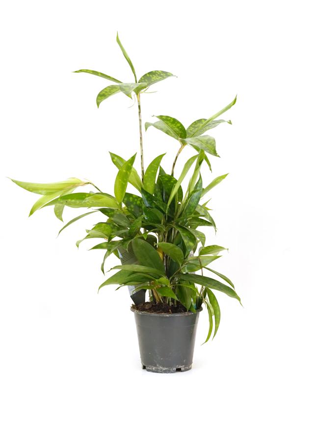 دراسينا  'نباتات داخلية'