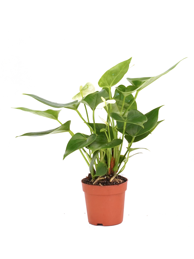 Anthurium A. Arisa Baby White 'Indoor Plants'