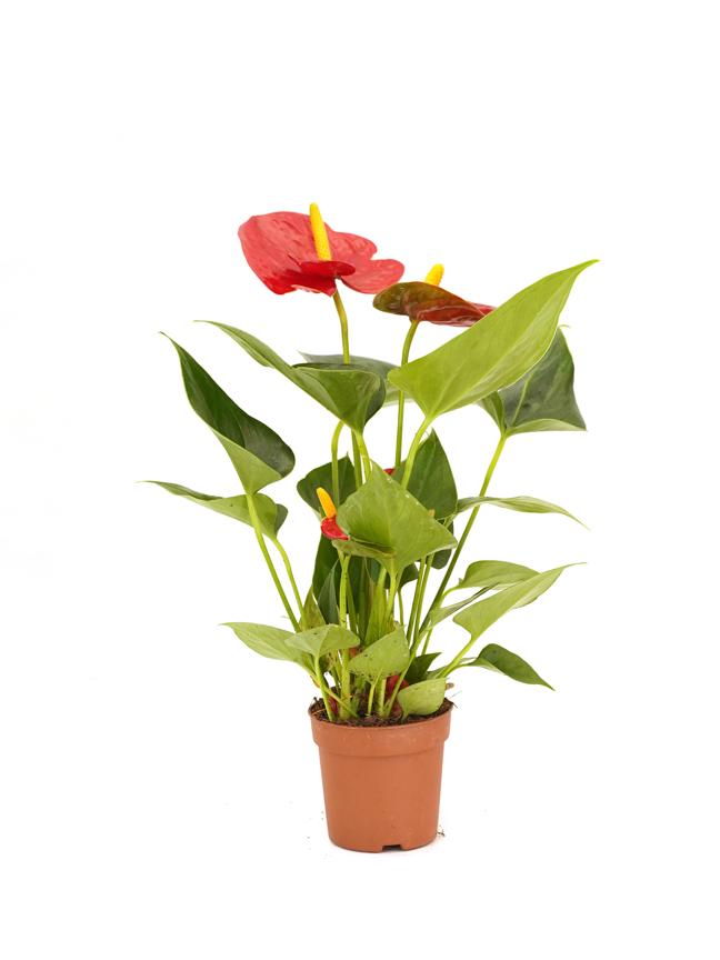 Anthurium A. Baby Arisa Red Indoor Plants
