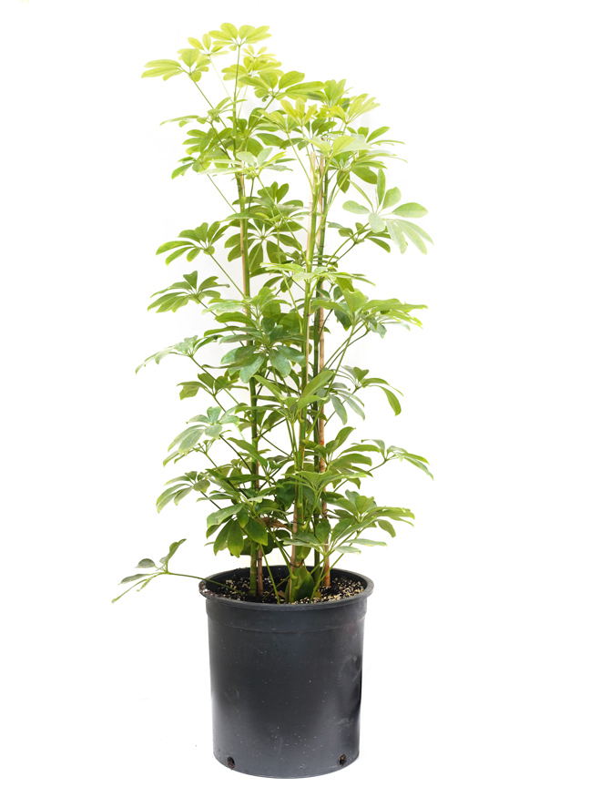 Schefflera Nora 'Indoor Plants'