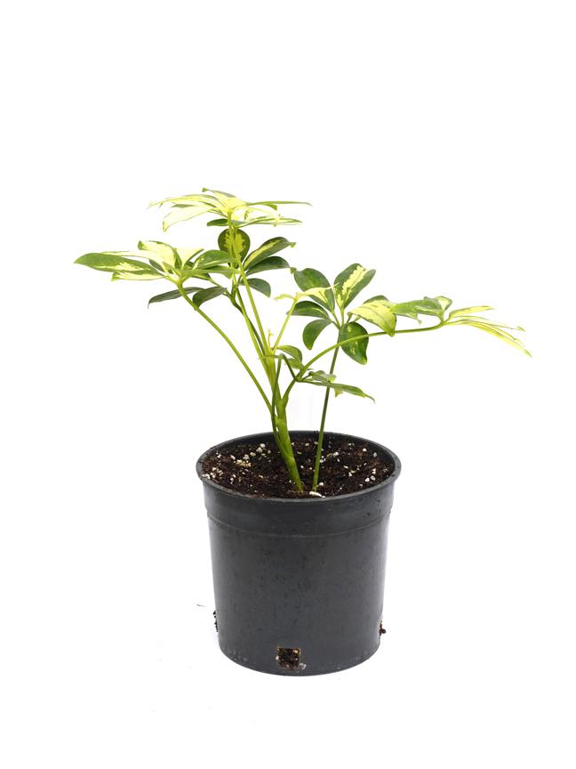 Schefflera Gold Indoor Plants