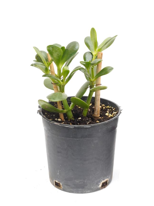 Jade Plant black pot Indoor Plants